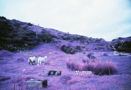 Mountain Sheep, Llanllwni